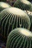 Goldenes Fass-Kaktus lizenzfreie stockfotos