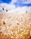 Goldenes Feld Stockbild