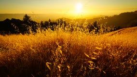 Goldenes Feld bei Sonnenuntergang stockfoto