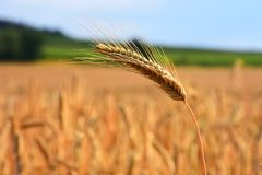 Goldenes Feld des reifen Kornes im Vordergrundkornpfeiler stockfotos