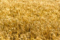 Goldenes Feld des Weizens am sonnigen Tag stockfoto