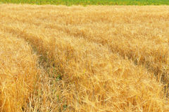 Goldenes Feld mit reifem Roggen Stockfoto