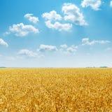 Goldenes Feld und blauer Himmel mit Wolken über ihm Stockfotografie