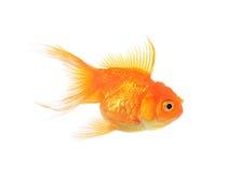 Goldenes Fischisolat auf weißem Hintergrund Stockfoto