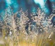 Goldenes flaumiges Gras mit Sonnenlicht - verwischen Sie Hintergrund Lizenzfreie Stockfotografie