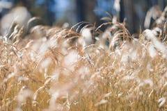 Goldenes flaumiges Gras mit Sonnenlicht - verwischen Sie Hintergrund Lizenzfreies Stockfoto