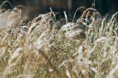Goldenes flaumiges Gras mit Sonnenlicht - verwischen Sie Hintergrund Lizenzfreie Stockbilder