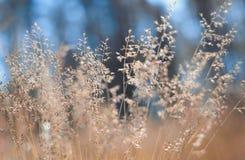 Goldenes flaumiges Gras mit Sonnenlicht - verwischen Sie Hintergrund Lizenzfreie Stockfotos