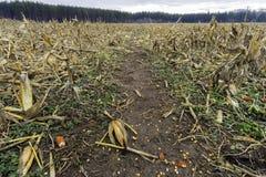 Goldenes geerntetes Getreidefeld mit niedrigen Stielen und den Kornähren Kern Lizenzfreie Stockfotos