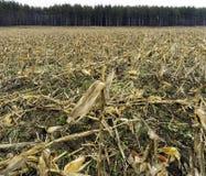 Goldenes geerntetes Getreidefeld mit Rest schnitt Stiele, Ohren und KE Stockbilder
