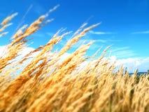 Goldenes gelbes Graslandgras, das im Wind unter klarem blauem Himmel durchbrennt stockbild