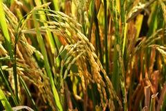 Goldenes gelbes Reisfeldhintergrund-Reisfeld in Thailand Lizenzfreie Stockfotografie
