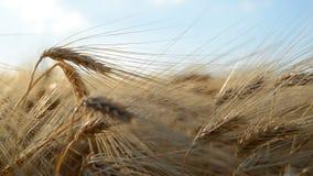 Goldenes Gerstenfeld Landwirtschaftliche Kultur stock footage