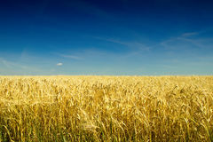 Goldenes Gerstenfeld vor Ernte im heißen Sommer Stockfotos