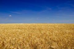 Goldenes Gerstenfeld vor Ernte im heißen Sommer lizenzfreie stockbilder