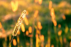 Goldenes Gras Stockfoto