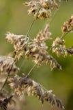 Goldenes Gras Stockfotos