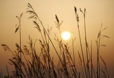 Goldenes Gras Lizenzfreie Stockbilder