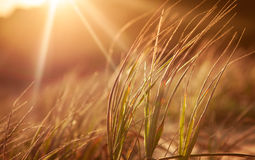 Goldenes Gras lizenzfreie stockfotos