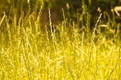 Goldenes Gras Lizenzfreies Stockfoto