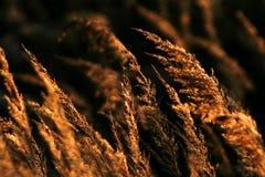 Goldenes Gras Stockbilder