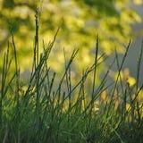 Goldenes Gras Stockfotografie