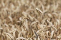 Goldenes Hauptgetreideweizenfeld zur Erntezeit im Herbst Lizenzfreie Stockbilder