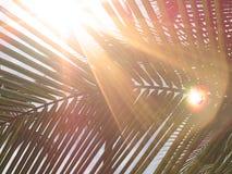 Goldenes helles Aufflackern auf grünem Kokosnusspalmenblattstiel stockfoto