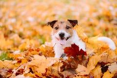 Goldenes Herbstkonzept des indischen Sommers mit Hund und orange Ahornblättern Lizenzfreie Stockfotos