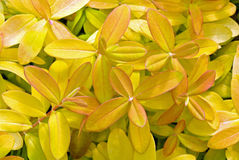Goldenes Johanniskraut Stockbild