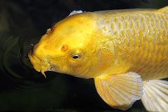 Goldenes Koi Stockbild