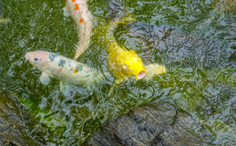 Goldenes Koi in einem Teich in Japan Stockfoto