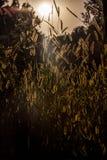 Goldenes Korn blüht Lit durch Sonnenlicht stockfoto