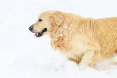 Goldenes Labrador, das auf dem weißen Schnee läuft Stockbilder