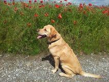 Goldenes Labrador nahe bei Poppy Field Stockfoto