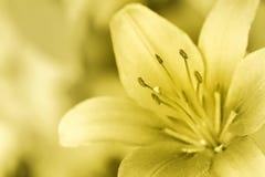 Goldenes Lilly Lizenzfreie Stockbilder