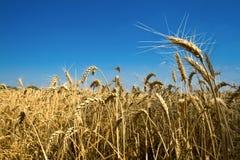 Goldenes Maisfeld Stockfoto