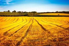 Goldenes Maisfeld im Sonnenuntergang Stockbilder