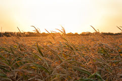 Goldenes Maisfeld am Sonnenuntergang lizenzfreie stockbilder