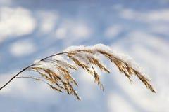 Goldenes Ohr des Weizens im Schnee lizenzfreies stockbild