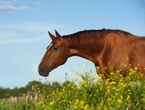 Goldenes Pferd des Kastanienreinrassigen tiers Stockfotos
