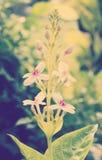 Goldenes Pseuderanthemum Lizenzfreies Stockbild