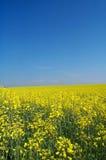 Goldenes Rapsfeld Stockbild