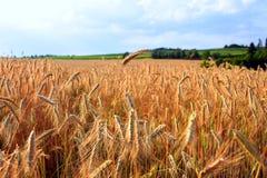 Goldenes reifes Feld des Getreides des Roggens mit den reifen Kornähren stockfoto