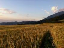 Goldenes Reisfeld stockbild