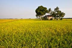 Goldenes Reisfeld lizenzfreie stockfotos