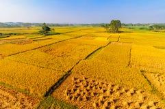 Goldenes Reisfeld Lizenzfreies Stockfoto