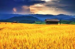 Goldenes Reisfeld über Sonnenuntergang Stockfotos