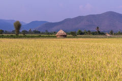 Goldenes Reisfeld mit Stroh in Thailand Asien Lizenzfreies Stockfoto