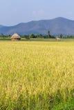 Goldenes Reisfeld mit Stroh in Thailand Asien Stockfotos